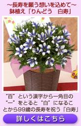 鉢植え「りんどう 白寿~長寿を願う想いを込めて~」