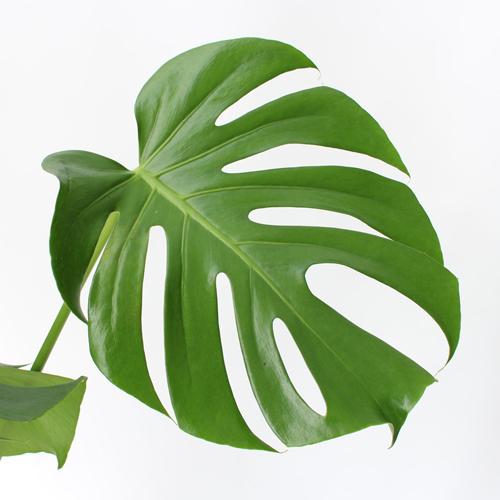 観葉植物「モンステラ」6号