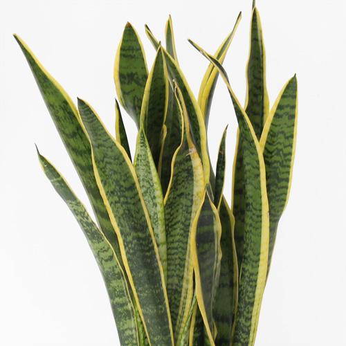 観葉植物「サンスベリア」6号