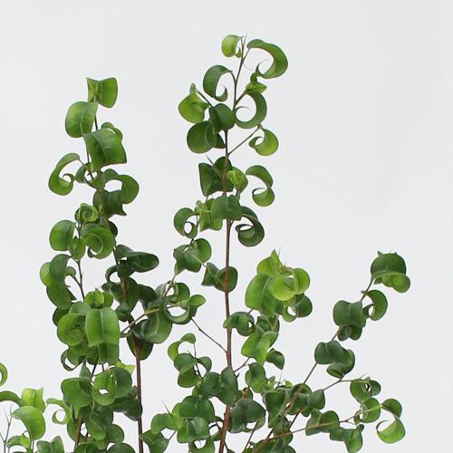 観葉植物「フィカス・ベンジャミン・バロック」6号