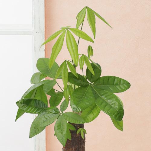 観葉植物「パキラ」6号