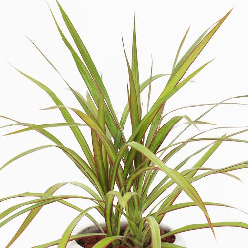 観葉植物「ドラセナ・コンシンネ」