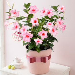 鉢植え「サンパラソル ミルキーピンク~ガーデナーのお母さんへ~」