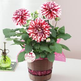 鉢植え「紅白の大輪ダリア~母の日を祝う感謝を込めて~」
