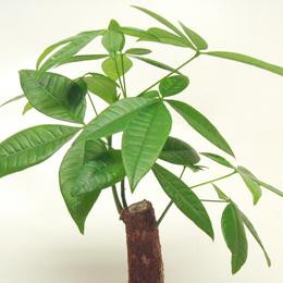 パキラは、寒い場所に強く、日陰でも育てることができて、観葉植物の中では乾燥にも強く、さらに病虫害にも強い、まさにオールマイティーな観葉植物です。