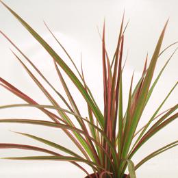 シャープな葉のコンシンネ。鮮やかな赤とグリーンのラインが魅力です。
