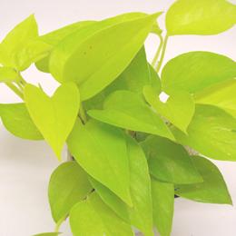 ポトスは、つるが長く伸びるのが特徴の初心者でも育てやすい植物です。長く伸びたつるは切って、挿し木に使ってください。