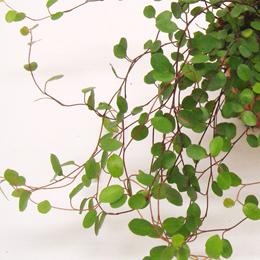 ワイヤーのようなしなやかで細い赤茶色の茎からワイヤープランツという名前がつきました。