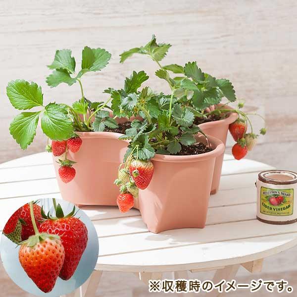 栽培キット「イチゴ とちおとめ」