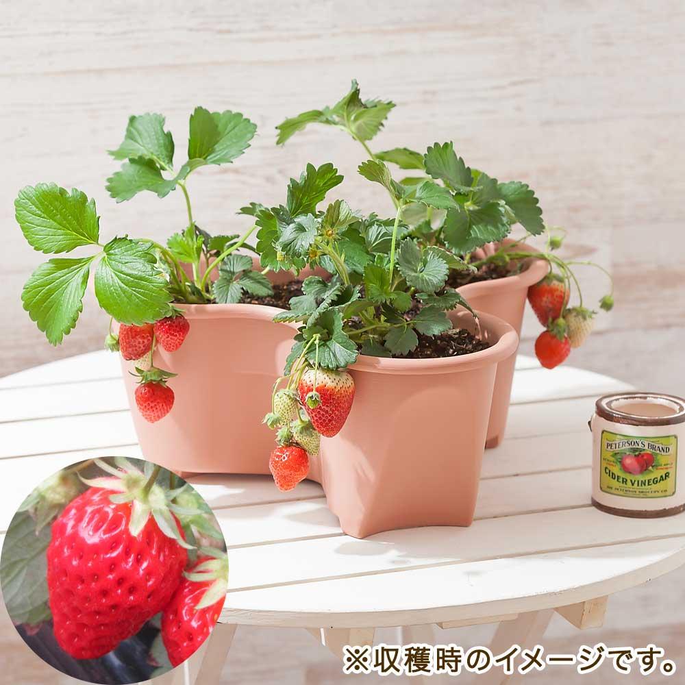栽培キット「イチゴ 女峰」