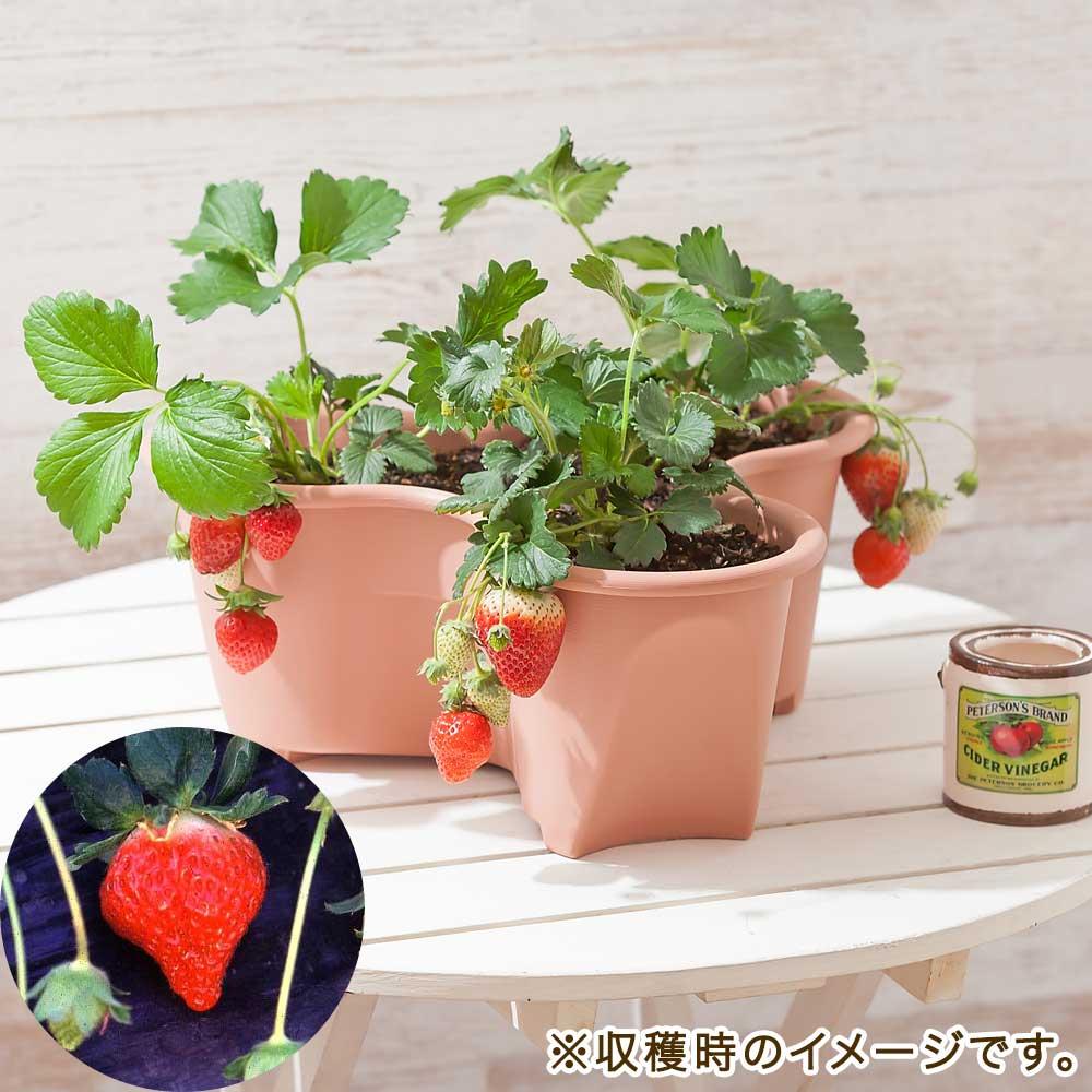 栽培キット「イチゴ とよのか」