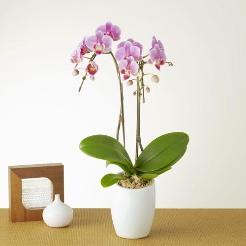 鉢植え「テーブルミディ胡蝶蘭2本立(ピンク)」
