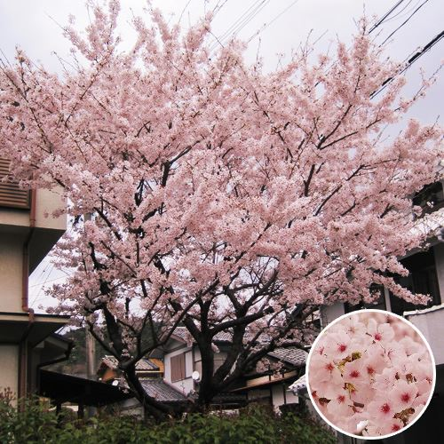 <千趣会イイハナ> 記念樹・シンボルツリー「桜(ソメイヨシノ)」