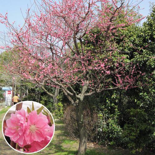 """記念樹・シンボルツリー「花桃 """"矢口""""/ひな祭りの花」"""