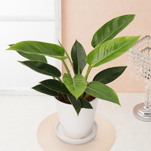 観葉植物「フィロデンドロン」6号