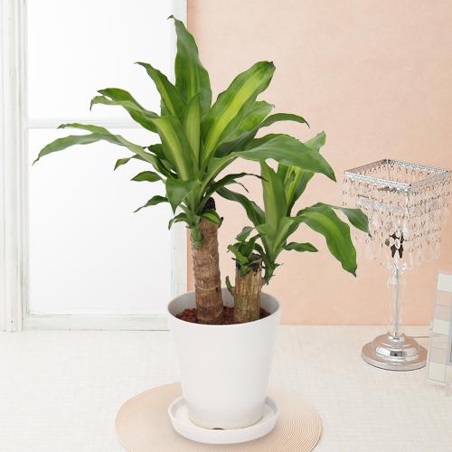 観葉植物「ドラセナ・マッサンゲアナ」6号