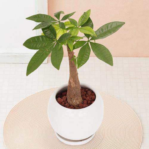 観葉植物「パキラ」