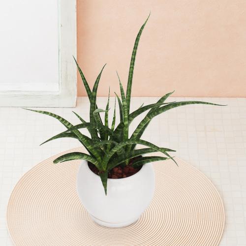 <千趣会イイハナ> 観葉植物「サンスベリア ファーンウッド」