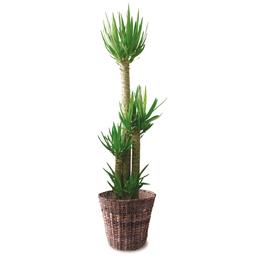 観葉植物「ドラセナ・ユッカ」10号