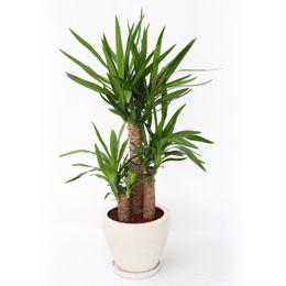 観葉植物「ドラセナ・ユッカ」8号