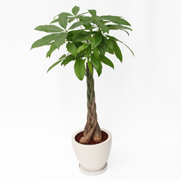 観葉植物「パキラ」8号