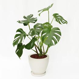 観葉植物「モンステラ」8号
