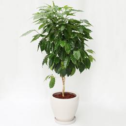 観葉植物「コーヒーの木」8号