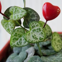 【自宅で楽しむ】LOVEハートプランツ栽培キット「ハートカズラ」