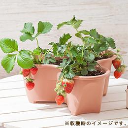 栽培キット「イチゴ食べくらべ とちおとめ&女峰&とよのか」