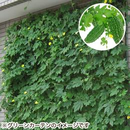 e87.com(千趣会イイハナ)栽培キット「グリーンカーテン ゴーヤ」