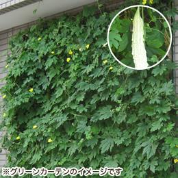 e87.com(千趣会イイハナ)栽培キット「グリーンカーテン 白ゴーヤ」
