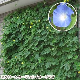 栽培キット「グリーンカーテン 宿根朝顔」