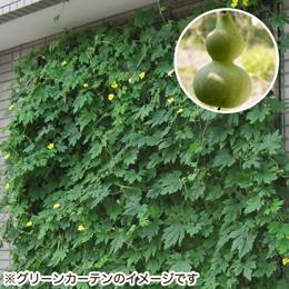 栽培キット「グリーンカーテン ひょうたん」