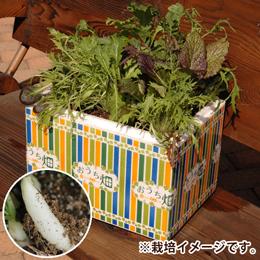 栽培キット「おうち畑〜白長二十日ダイコン〜」