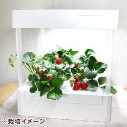 LEDプランター栽培キット「イチゴ3株セット」