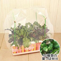 おうち畑温室「10種類の葉っぱMIX」