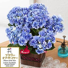 母の日 鉢植え「アジサイ フェアリーアイ〜清涼感のブルー〜」
