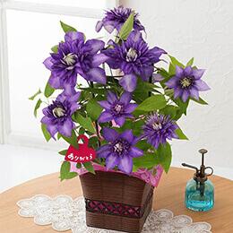 母の日 鉢植え「紫の大輪クレマチス〜尊敬の想いを込めて〜」
