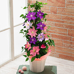 母の日 鉢植え「3色のクレマチスタワー」