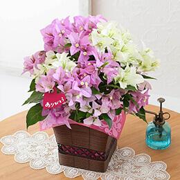 母の日 鉢植え「ブーゲンビリア ブルージュ〜2色寄せ植え〜」
