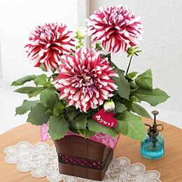 母の日 鉢植え「紅白の大輪ダリア〜感謝の贈り物〜」