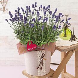 母の日 鉢植え「ラベンダー センティヴィア〜癒しの香りの贈り物〜」