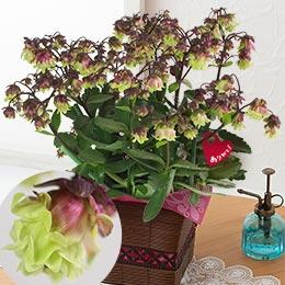 母の日 鉢植え「八重咲きウェンディ—」