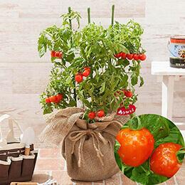 母の日 鉢植え「気持ち伝えるハートのミニトマト」