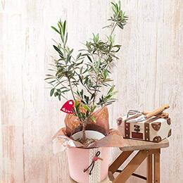 母の日 鉢植え「オリーブ シプレッシーノ」