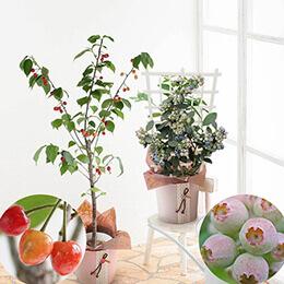母の日父の日鉢植え「さくらんぼ・ブルーベリー」