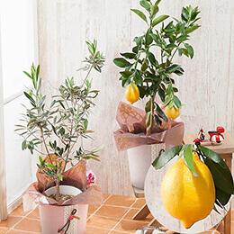 母の日父の日鉢植え「シチリアセット オリーブ・レモン」
