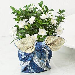 父の日 鉢植え「くちなし〜上品な香りの贈り物〜」