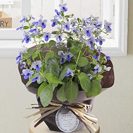 父の日 鉢植え「クレロデンドルム〜幸福の青い蝶〜」
