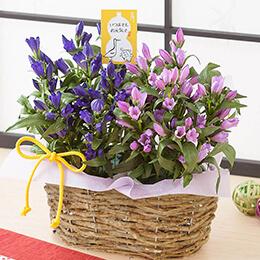 敬老の日 寄せ鉢「想い伝える2色のりんどう」